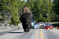 Bison In Yellowstone National Park Stock Image - 830841