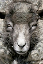 Sheep Portrait Royalty Free Stock Photography - 833917