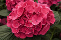 Hydrangea Bloom Royalty Free Stock Images - 839639