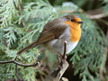 Robin Royalty Free Stock Images - 8302449