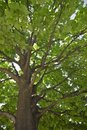 Large Maple Tree Stock Photos - 8304493