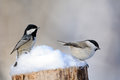 Coal Tit And Willow Tit In Snow Royalty Free Stock Images - 83050799