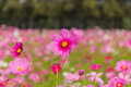 Pink White And Red Cosmos Flowers Garden,Blurry To Soft Focus An Stock Photo - 83056260