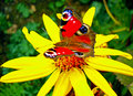 Colorful Butterfly On A Yellow Blossom Royalty Free Stock Photo - 83088245