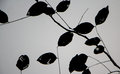 Leaves Black Silhouettes On Gray Background Royalty Free Stock Images - 83147789