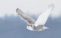 Snowy Owl Stock Photos - 83187173