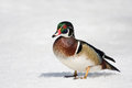Wood Duck On Ice Royalty Free Stock Images - 83188939