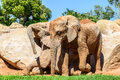 African Elephants In Zoo Stock Images - 83244314