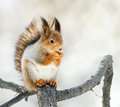 Red Squirrel Sitting On A Branch In The Park And Eats A Nut Stock Photography - 83281202