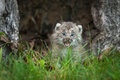 Canada Lynx Lynx Canadensis Kitten Cries Behind Grass Stock Images - 83298094