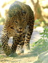 Leopard Royalty Free Stock Photo - 8331235