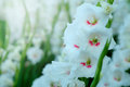 White Gladiolus Flower In Field. Representation To Splendid  Beauty And Promise. Stock Photo - 83301320