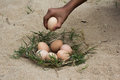 Catch The Eggs From The Nest Of A Chicken,Chicken S Nest Made O Royalty Free Stock Image - 83310436