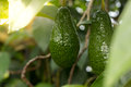 Bunch Of Ripe Avocados On The Tree Stock Images - 83317644
