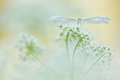 White Butterfly On Soft Background. White Plume Moths, Pterophorus Pentadactyla In Soft Focus Royalty Free Stock Photography - 83339847