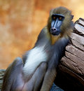 Baboon Royalty Free Stock Photo - 83347035