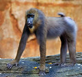 Baboon Royalty Free Stock Photography - 83347077