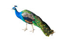 Beautiful Peacock Isolated On White Background Royalty Free Stock Photos - 83372948