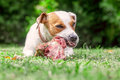 Jack Russell Terrier Dog Eat A Raw Bone Stock Photos - 83447453