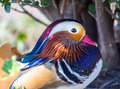 Mandarin Duck Royalty Free Stock Photography - 83455117