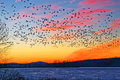 Snow Geese Flying Over Frozen Lake Royalty Free Stock Photos - 83455448