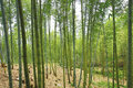Beautiful Landscape Of Moso Bamboo Forest Royalty Free Stock Photography - 83467347