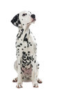 Adult Sitting Dalmatian Dog Looking Up Royalty Free Stock Images - 83498039