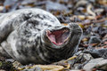 Young Seal Pup Showing Teeth On Skomer Island Royalty Free Stock Photo - 83498325