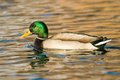 Male Mallard Duck Stock Image - 83502491