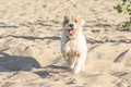 Funny Dog Running To The Camera On The Sandy Beach Royalty Free Stock Photography - 83548027