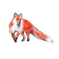 Red Fox. Isolated On A White Background. Watercolor Illustration. Royalty Free Stock Photo - 83595355