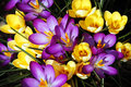 Purple And Yellow Spring Crocus Flowers Royalty Free Stock Image - 8368436