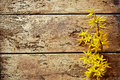 Dainty Yellow Forsythia Border On Rotten Wood Royalty Free Stock Photography - 83607487