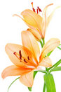 Lily Stock Image - 8377301
