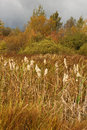 Common Bulrush In Autumn Landscape. Royalty Free Stock Image - 83708076