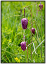 Fritillary Flowers Growing In An Open Meadow With Lush Green Grass Background Stock Image - 83725941