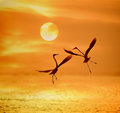 Egrets Play In Sunset Royalty Free Stock Images - 83744249