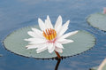 Beautiful White Waterlily In Pond Royalty Free Stock Images - 83755089