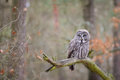 Great Grey Owl On Tree Branch Stock Photo - 83762400