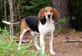 Tennesee Treeing Walker Coonhound Stock Photo - 83820830