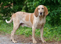 Redtick Coonhound Royalty Free Stock Images - 83821349