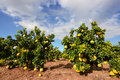 Pomelo Fruit On The Tree Royalty Free Stock Images - 83822209