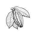 Hand Drawn Ripe Cacao Fruit Hanging On A Branch Royalty Free Stock Image - 83830526