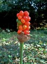 Red Lords And Ladies Arum Berries Stock Photos - 83832433