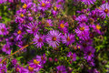 New England Aster Stock Photography - 83846802