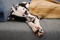 Sad Or Sleepy Dog Dalmatian Lies On A Blue Sofa Royalty Free Stock Photo - 83881905