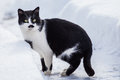 Black And White Cat In The Snow. Royalty Free Stock Image - 83889436