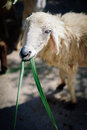 Sheep Eating Grass Stock Images - 83895054