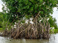 Mangroves In The Amazon Stock Image - 83908651