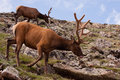 Two Elk On Green, Rocky Slope Near Rocky Mountain National Park Royalty Free Stock Photography - 83911737